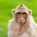 macaque-mongkey-closeup