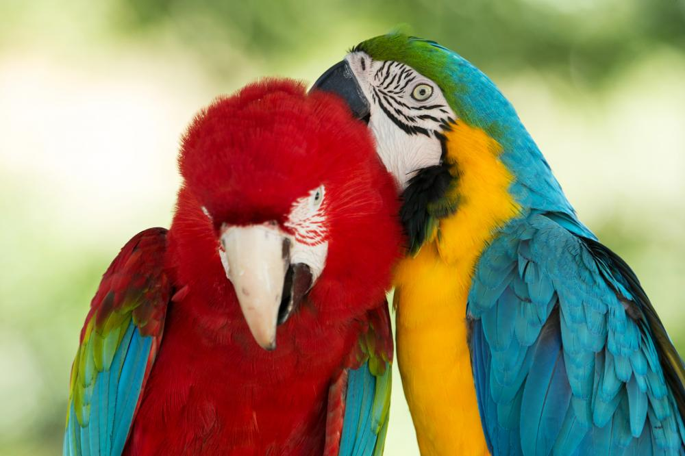 macaws-parrots
