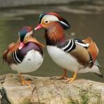 madarin-ducks (1)