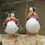 madarin-ducks