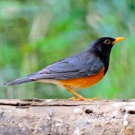 male-black-breast-thrush