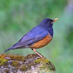male-black-breasted-thrush (1)