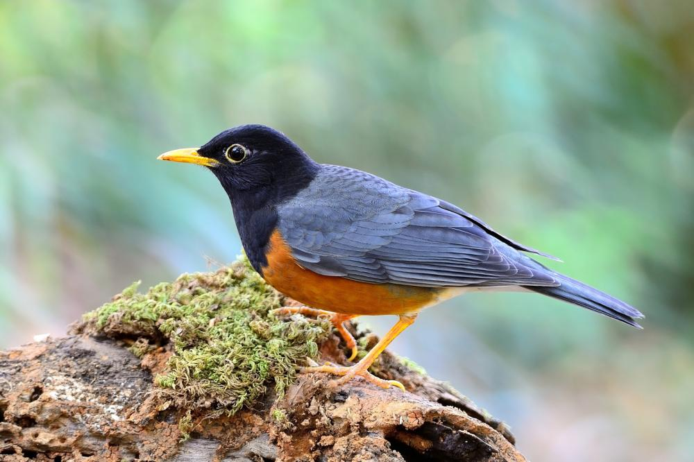 male-black-breasted-thrush