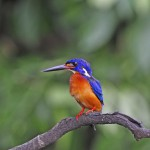 male-blue-eared-kingfisher
