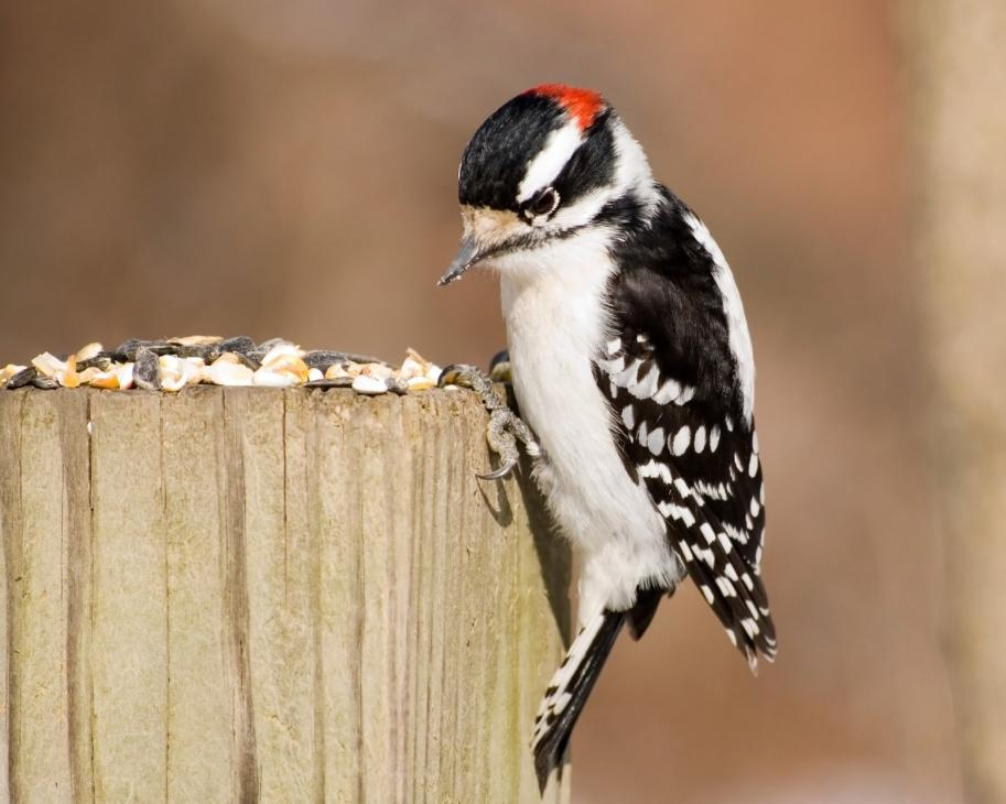 male-downy-woodpecker