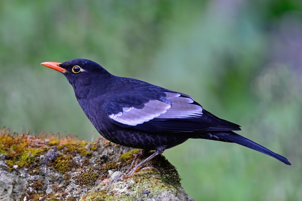 male-grey-winged-blackbird (1)