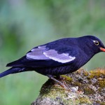 male-grey-winged-blackbird