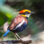 male-malayan-banded-pitta