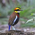 male-malayan-banded-pitta (2)