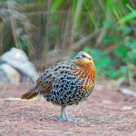 male-mountain-bamboo-partridge (1)