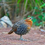 male-mountain-bamboo-partridge