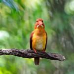 male-ruddy-kingfisher
