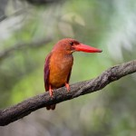 male-ruddy-kingfisher (2)