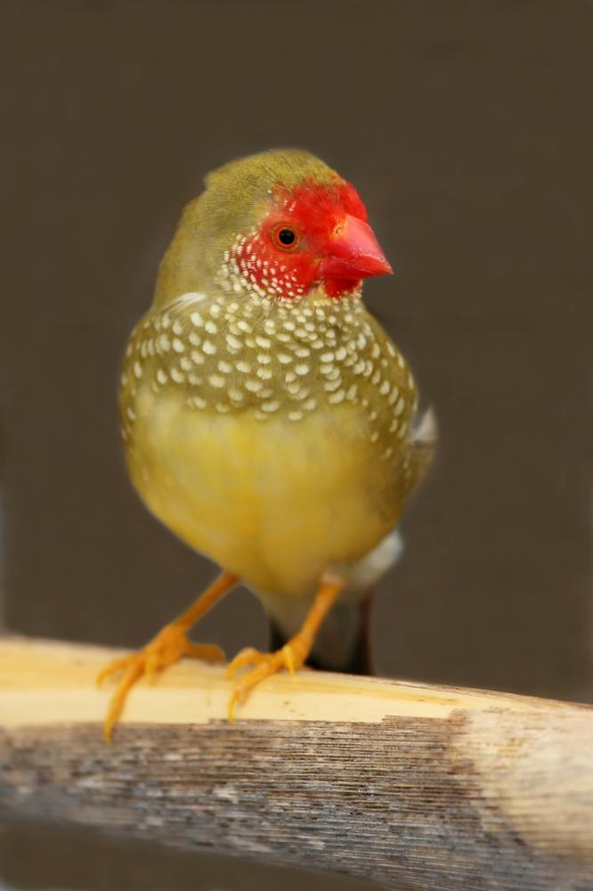 male-star-finch-from-australia