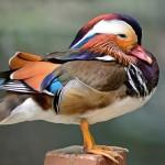 mandarin-duck (1)