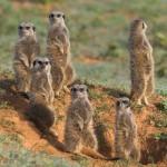 meerkat-family