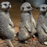 meerkats-suricata-suricatta