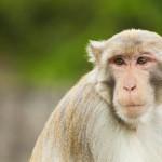 monkey-ape-looking