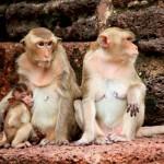 monkey-in-lopburi-of-thailand