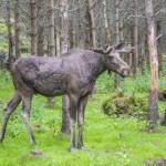 moose-in-a-wildlife-park (2)