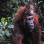 mother-orangutan-and-baby