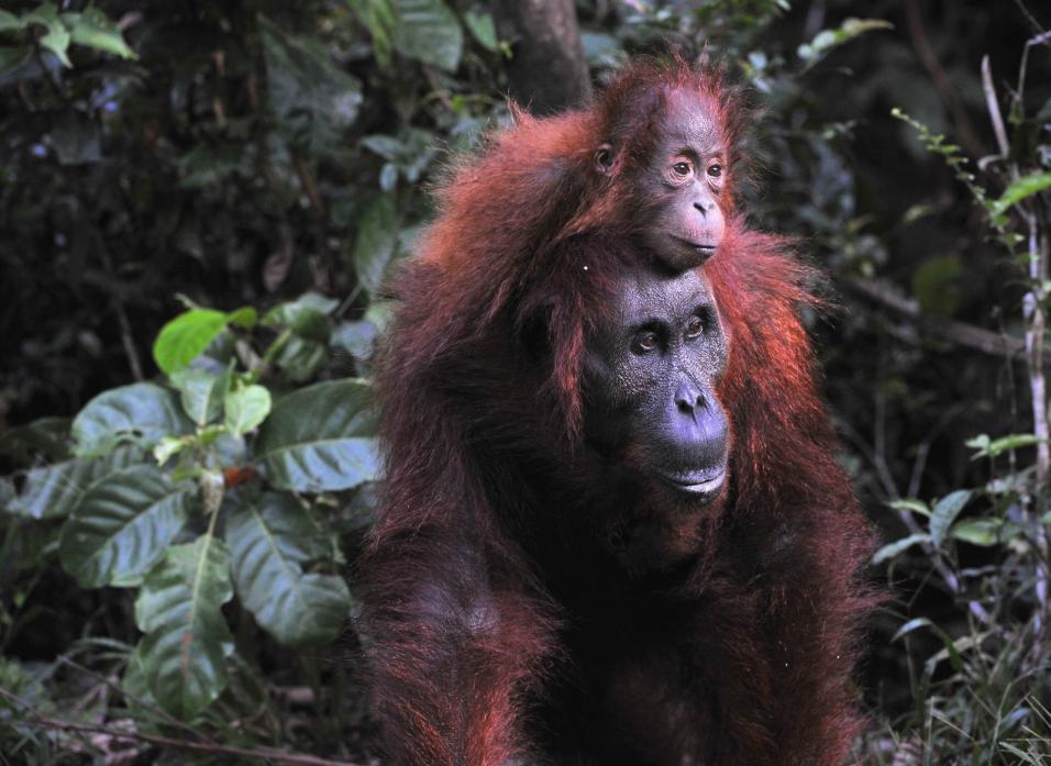 Tierpark Olderdissen Bielefeld: Affen, Bären, Elche, Rehe, Esel, Rinder, Bison, Rothirsch, Braunbär, Auerhahn, Pfau, Eulen, Wisent, Wildschweine, Hirschwild, Rotwild, Heimtiere, Wildtiere,  Öffnungszeiten, Anfahrt, Eintritt, Tiere, Restaurantmother-orangutan-and-baby