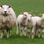 mother-sheep-with-three-little-lambs-looking-at-you