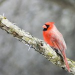 northern-cardinal (1)