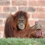 orang-playing