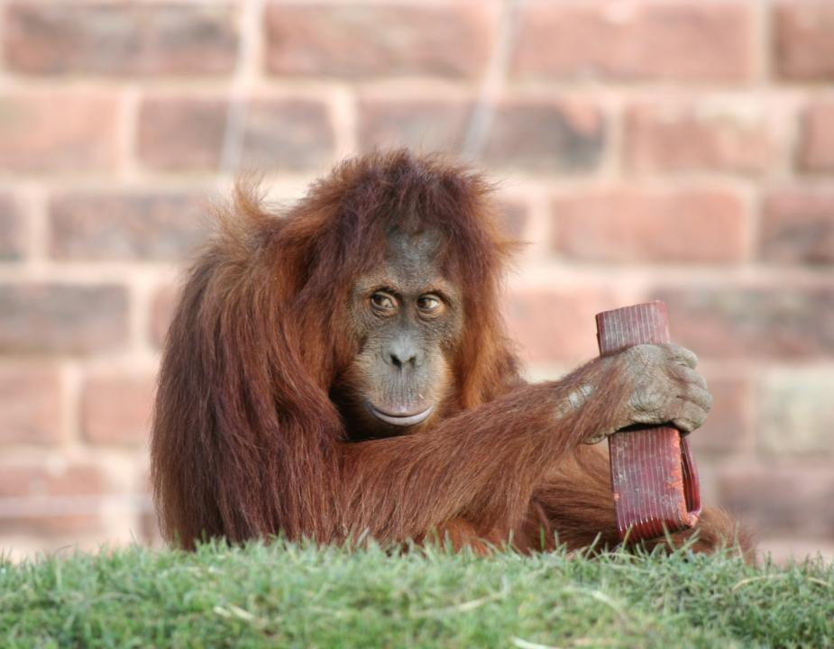 orang-playing
