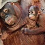 orang-utan-mother