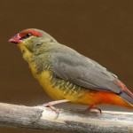orange-breasted-waxbill-bird