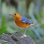 orange-headed-thrush