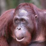 orangutan-ben