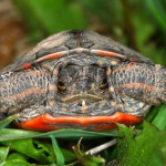 painted-turtle-chrysemys-picta