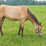 pasturing-horse