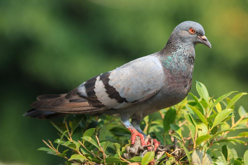 pigeon-stand-on-the-treetop