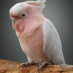 pink-cockatoo