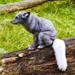 polar-fox
