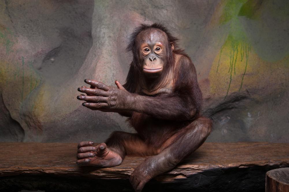 Tierpark Olderdissen Bielefeld: Affen, Bären, Elche, Rehe, Esel, Rinder, Bison, Rothirsch, Braunbär, Auerhahn, Pfau, Eulen, Wisent, Wildschweine, Hirschwild, Rotwild, Heimtiere, Wildtiere,  Öffnungszeiten, Anfahrt, Eintritt, Tiere, Restaurantportrait-of-orangutan-pongo-pygmaeus