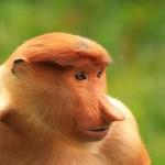 portrait-of-proboscis-monkey-borneo-malaysia