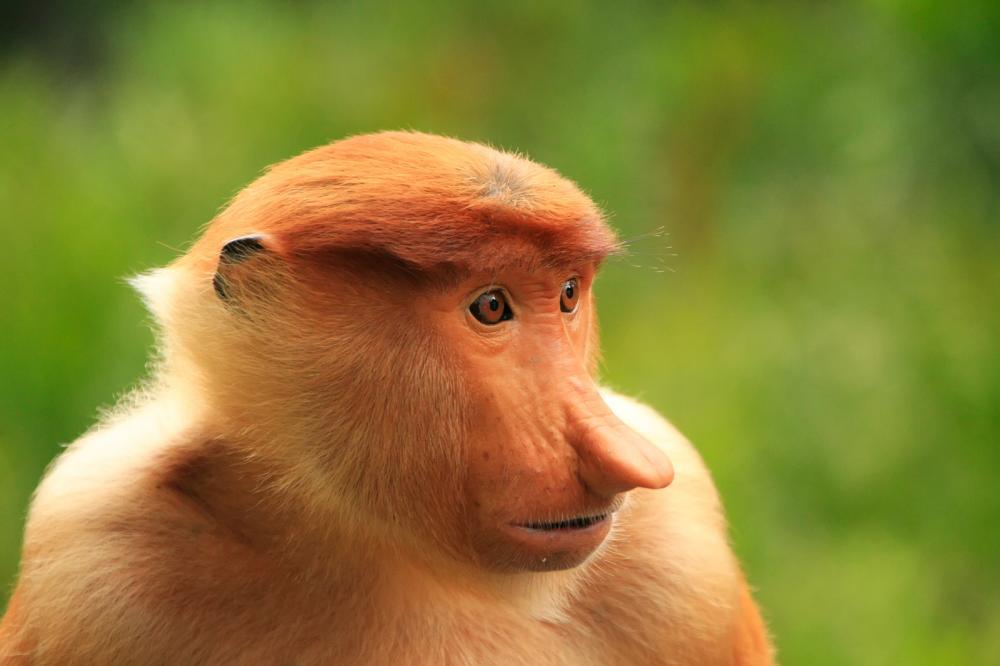 Tierpark Olderdissen Bielefeld: Affen, Bären, Elche, Rehe, Esel, Rinder, Bison, Rothirsch, Braunbär, Auerhahn, Pfau, Eulen, Wisent, Wildschweine, Hirschwild, Rotwild, Heimtiere, Wildtiere,  Öffnungszeiten, Anfahrt, Eintritt, Tiere, Restaurantportrait-of-proboscis-monkey-borneo-malaysia