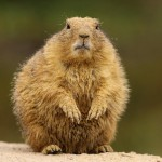 prairie-dog (4)