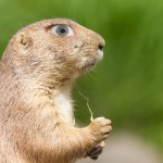 prairie-dog-with-a-human-eye