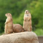 prairie-dogs-on-rock (1)