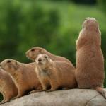 prairie-dogs-on-rock