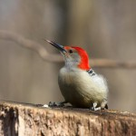 red-bellied-woodpecker (1)