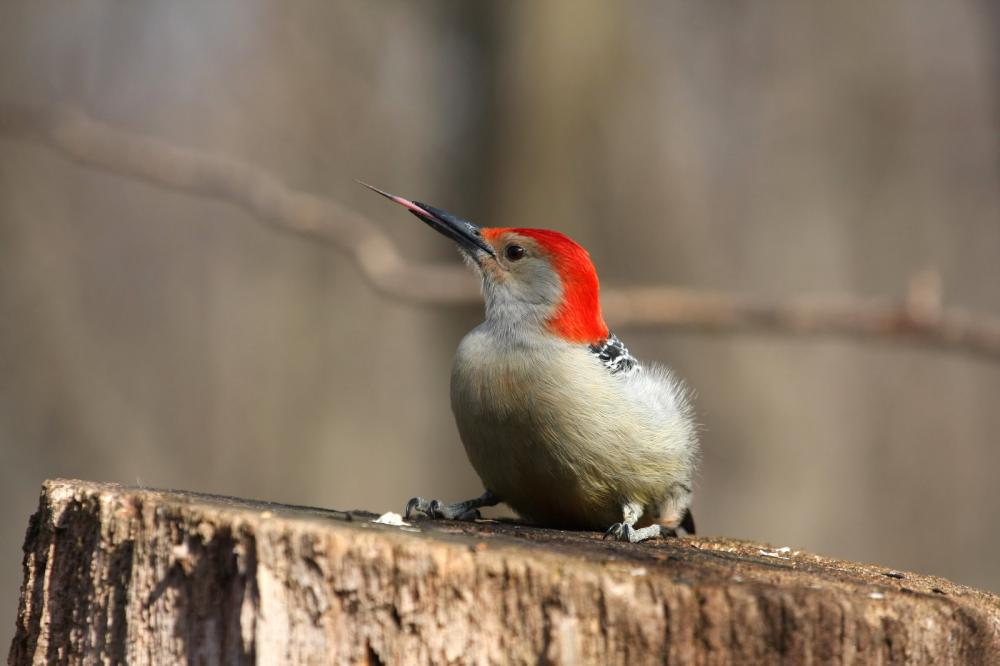 red-bellied-woodpecker (1)