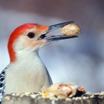 red-bellied-woodpecker (4)