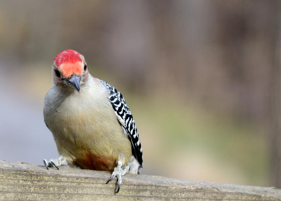 red-bellied-woodpecker (5)